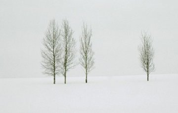 Winter Aspens   Panorama - Thomas Mangelsen