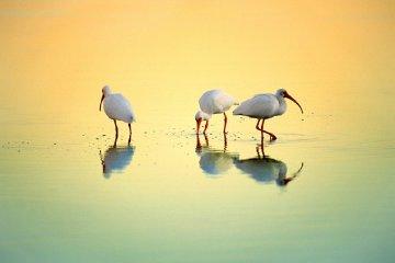 Gift of Tides White Ibis  Panorama by Thomas Mangelsen