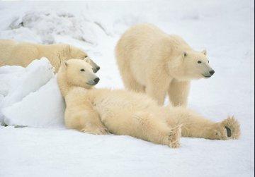 Bad Boys of the Arctic - Huge Panorama - Thomas Mangelsen