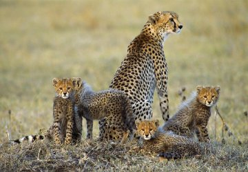 Dry Season, Cheetahs  Panorama - Thomas Mangelsen