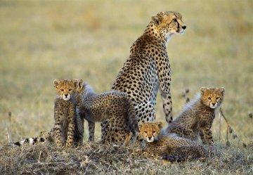 Dry Season, Cheetahs - Super Huge Panorama - Thomas Mangelsen
