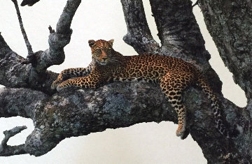 Shades of Sapphire - Leopard  Panorama by Thomas Mangelsen