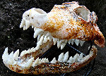 Crocodile Skull Unique Glass Sculpture 2010 Sculpture - Ron Seivertson