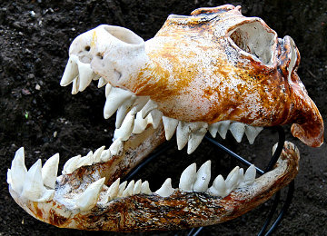Crocodile Skull Unique Glass Sculpture 2010 Sculpture by Ron Seivertson