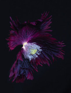 Fringed Poppy Limited Edition Print by Jonathan Singer