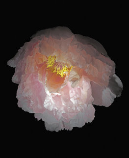 Chinese Tree Peony 2010 Limited Edition Print - Jonathan Singer