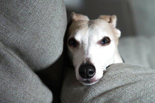 Yogo - A  Portrait of Yogo, My Dog 2017 Photography by Adi Tarkay