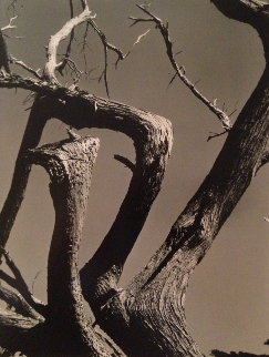 Cypress, Point Lobos 1955 California Limited Edition Print - Edward Weston