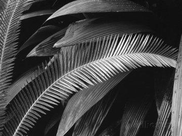 Palms, Bronx Botanical Gardens 1945 Photography by Brett Weston