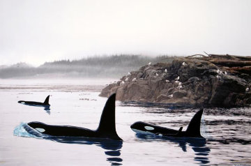 Peaceful Orca Waters 2008 Limited Edition Print by Robert Wyland