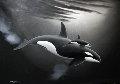 Orca and Calf 1990 27x37 Original Painting - Robert Wyland