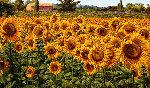 Sunflowers in a Summer Breeze 2016 32x48 Original Painting - Caroline Zimmermann
